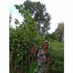 6英尺Karanja植物