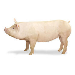 Middle Landrace Pig