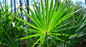 Saw Palmetto Oil