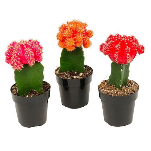 Succulents Cactus Plant At Rs 150 Piece Dahisar East