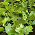 Solanum Trilobatum (Thuthuvalai)