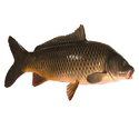Rohu Fish, For Household, Packaging Type: Thermocol Box