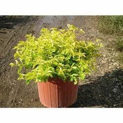 Decorative Duranta Plant