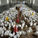 Poultry And Hatchery Farming Project Report Consultancy