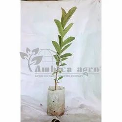 Red Guava Tissue Culture Plants
