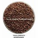 Morpankhi Seed