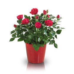 Rose Plant, Packaging Type: Poly Bag