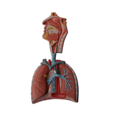 Human Respiratory System Models