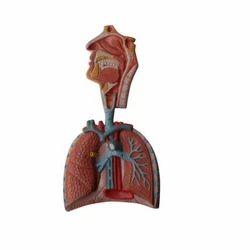 Human Respiratory System Models