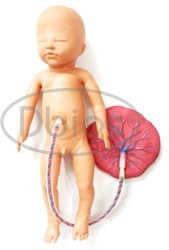 Baby With Placenta Model