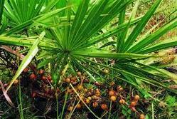 Saw Palmetto Oil (CO2 extracted 85%-95%)