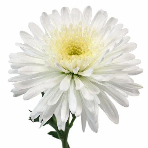 White gerbera jamesonii flower at rs 35 piece srirampura mysore white gerbera jamesonii flower mightylinksfo
