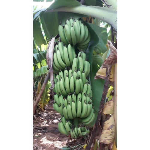 Tissue Culture G9 Banana Plant At Rs 12