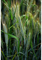 Yaksha Wheat Seeds