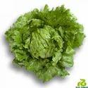 Green Bruma Rz Lettuce Seeds For Agriculture