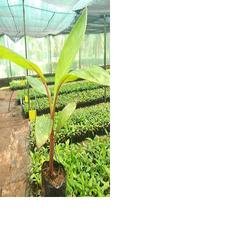 RED BANANA POLYBAG (HARDENED PLANTS)