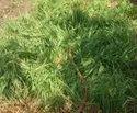 Lemongrass Slips