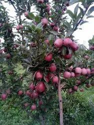All Varites Of Apples