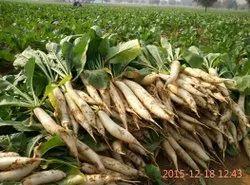 Natural Radish Seeds-SAKURA GOLD, Packaging Type: Pouch & Tin Packing
