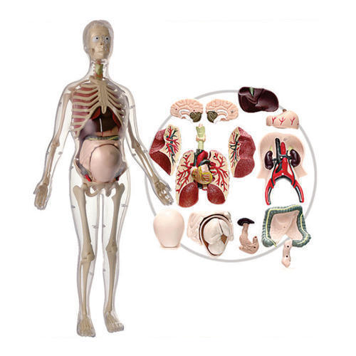 Visible Expectant Mother Anatomy Model at Rs 7810 /set | Human ...