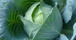 Cabbage F1- Disha Seed