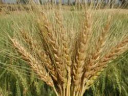 Kedar Wheat