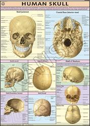 Human Skull  For Human Physiology chart