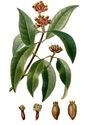 Syzygium Aromaticum-Laving Leaves