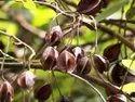 Arjuna / Terminalia Arjuna Tree Seeds