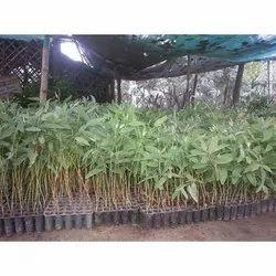 Eucalyptus Clone Plants - Wholesale Price & Mandi Rate for