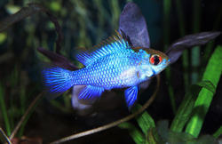Aquarium Electric Blue Ram Fish