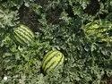 Maharaja F-1 Hybrid Watermelon Seeds