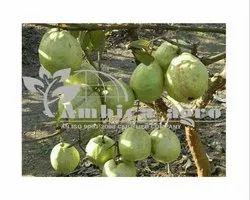 Alhabadi Safeda Guava Plants