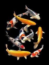 Hi Quality Japanese Koi Fish Mixed