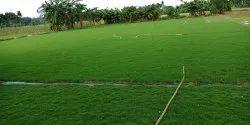 Green Mexican Grass