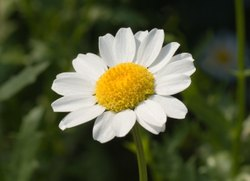 Organic Flower Seed