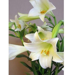 White Natural Water Lily Plant, For Bouquet, Party Decoration etc