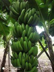 PK A Grade Fresh Green Banana, Packaging Size: 7 and 13 Kg, Packaging Type: Carton