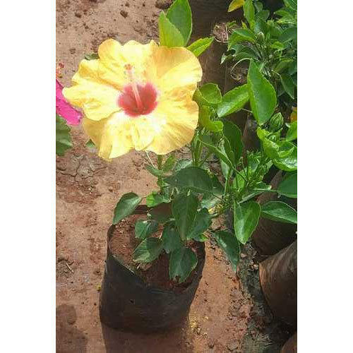 Hibiscus Plants At Rs 10 Piece फलदर पध