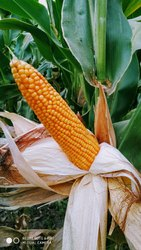 Vedant maze Dry Maize, Organic