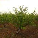Apple Ber植物