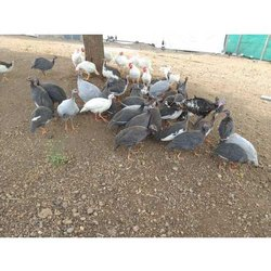 Guinea Fowl Chicks