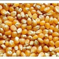 Raw Maize Seeds, Gluten Free