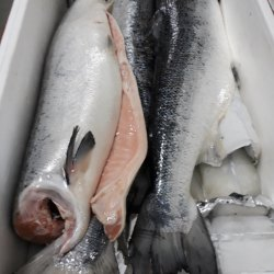 Imported Salmon Whole From Norway, Packaging Size: 3kg
