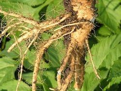 Anglica Root Oil