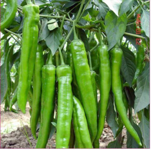 Hybrid Chilly Yamuna 904 Seeds, चिली सीड, मिर्च के ...