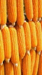 Yellow Maize Feed Quality