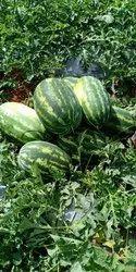 Watermelon, Packaging Size: 10 Kg