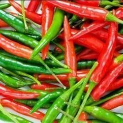 Chilli Seed- Sangam ( Hybrid)