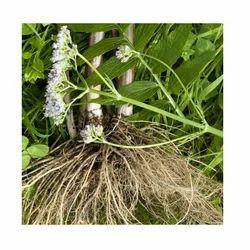 Valeriana Root Oils